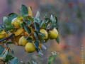 Äpfel-web-signum
