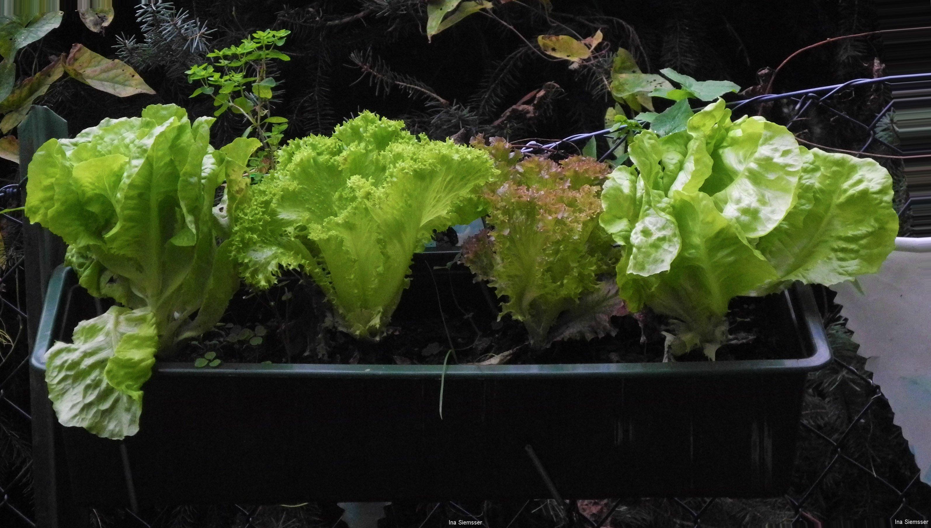 Salat-im-Balkonkasten