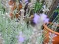 Lavendel-I